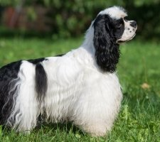 1480876263_american-cocker-spaniel-dog-photo-1