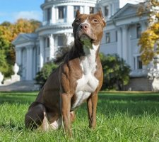 1481046507_american-pit-bull-terrier-dog-photo-1_1