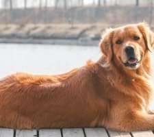 1482862345_golden-retriever-dog-photo-1