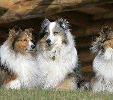1482936044_shetland-sheepdog-dog-photo-1