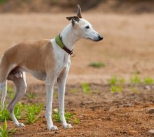 1485081101_whippet-dog-photo-1